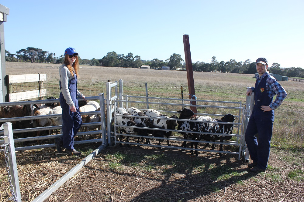 Dr James Walker and Dr Isabel Taylor from the University of Melbourne perform a routine health check on some Coolibah ewes prior to mating , Autumn 2015